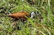 Blaustirn-Blatthühnchen (Actophilornis africanus)