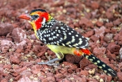 Flammenbartvogel (Trachyphonus erythocephalus)