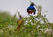 Mausvogel mit Dreifarbenglanzstar