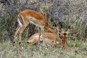 Bevorstehende Geburt der Grants-Gazelle