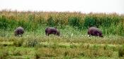 Nilpferd-Weide
