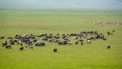 Rinder-Herde der Maasai