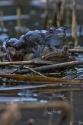 Grasfrösche (Rana temporaria)