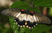 Grosser Mormone (Papilio memnon)