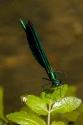 Blauflügel-Prachtlibelle begenet einer Spinne