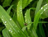 Gemeinen Strauchschrecke