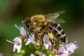 Honig-Biene