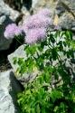 Akeleiblättrige Wiesenraute (Thalictrum aquilegifolium)