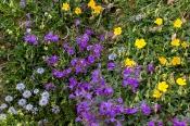 Alpensteinquendel, Sonnenröschen, Kugelblume