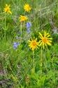 Arnika (Arnica montana) mit Bärtiger Glockenblume (Campanula barbata)