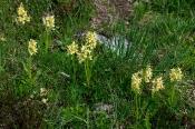 Holunder-Knabenkraut (Dactylorhiza sambucina)