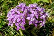 Rau-Kranzenzian (Gentianella aspera)