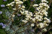 Rispen-Steinbrech (Saxifraga paniculata)