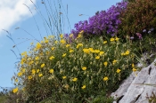 Sonnenröschen mit Alpen-Steinquedel