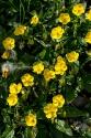 Sonnernröschen (Helianthemum nummularium)