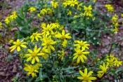 Klebriger Alant (Dittrichia viscosa)
