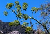 Wilder Fenchel (Foeniculum vulgare)