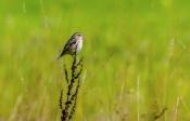 Braunkehlchen (Saxicola rubetra)