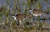 Flussregenpfeifer-Paar (Charadrius dubius)