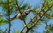 Haubenmeise (Parus cristatus)