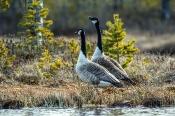 Kanadagänse (Branta canadensis) lassen Revier-Ruf ertönen