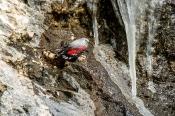Mauerläufer (Tichdroma muraria)